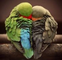 Deux oiseaux en coeur