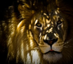 Lion en captivité